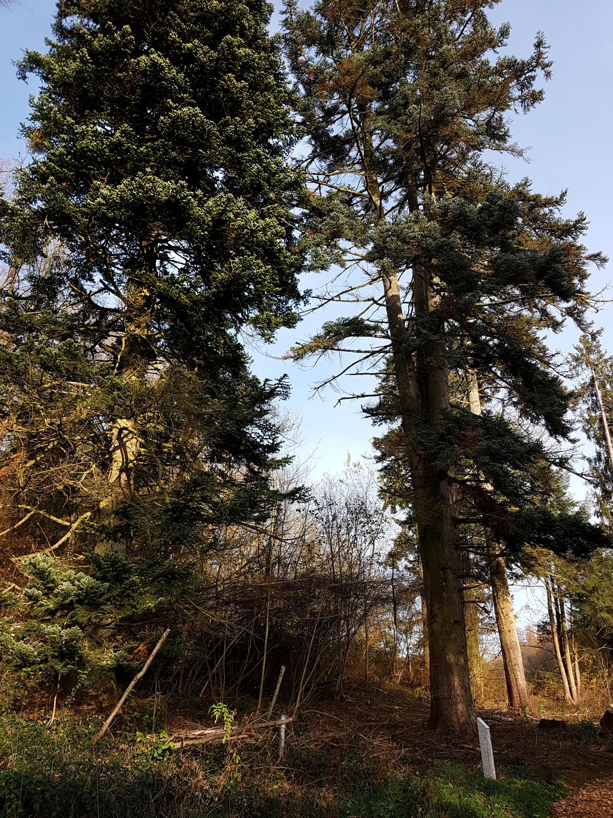 Nordmanns-Tanne - das kann aus einem Weihnachtsbaum werden. ;-)