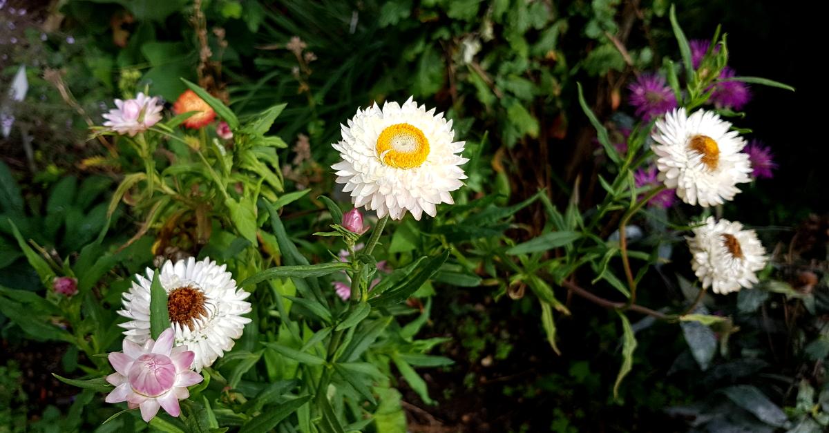 Die hübschen Strohblumen sind etwas aus der Mode gekommen - schade