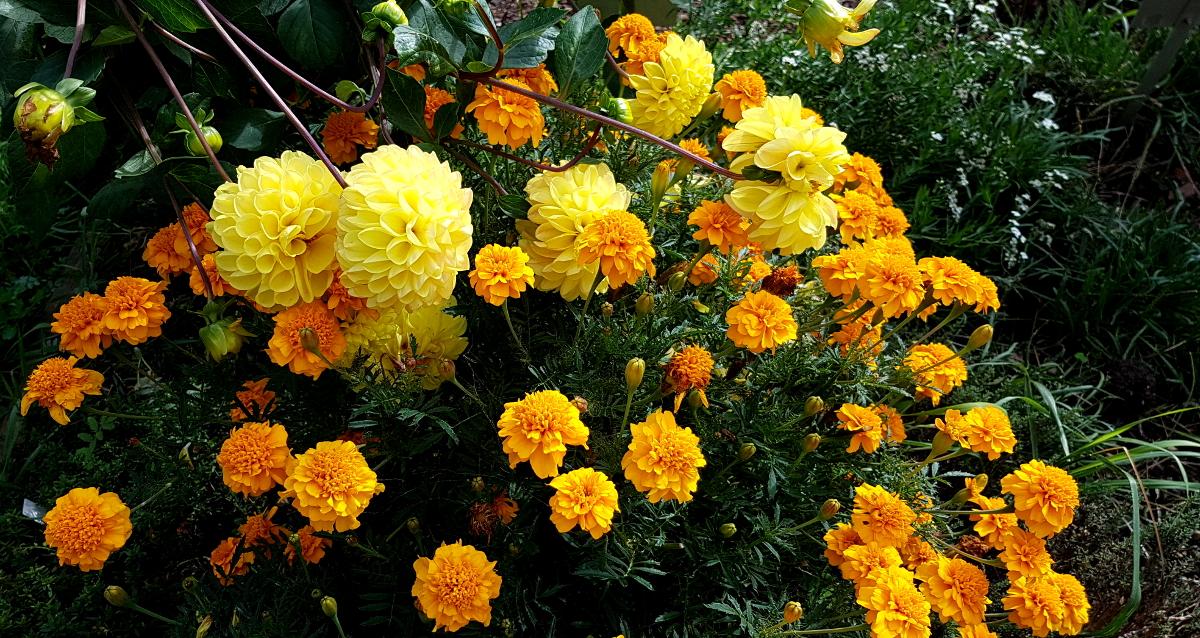 Dahlien und Tagetes sind schöne Sommerblumen