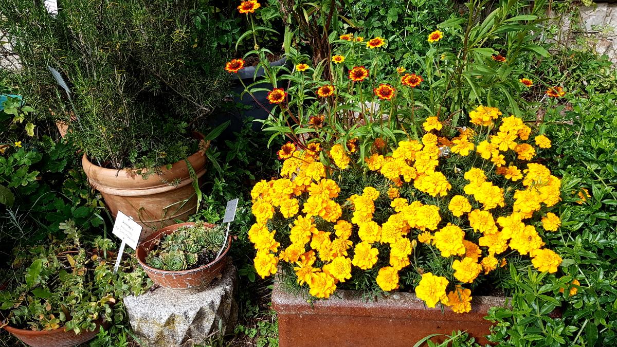 Tagetes neben Rosmarin und weiteren Kübelpflanzen