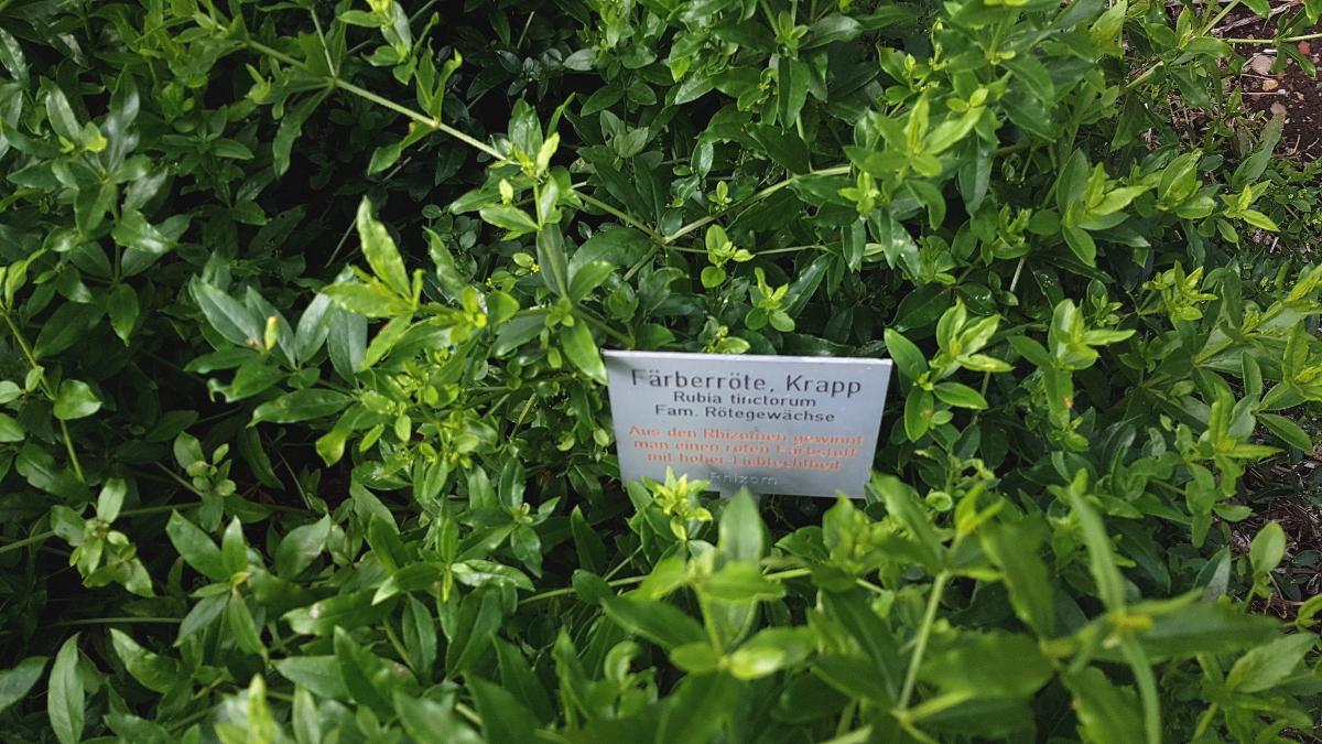 Es gibt ein ganzes Beet für Fäberpflanzen, z.B. Färberröte - Krapp