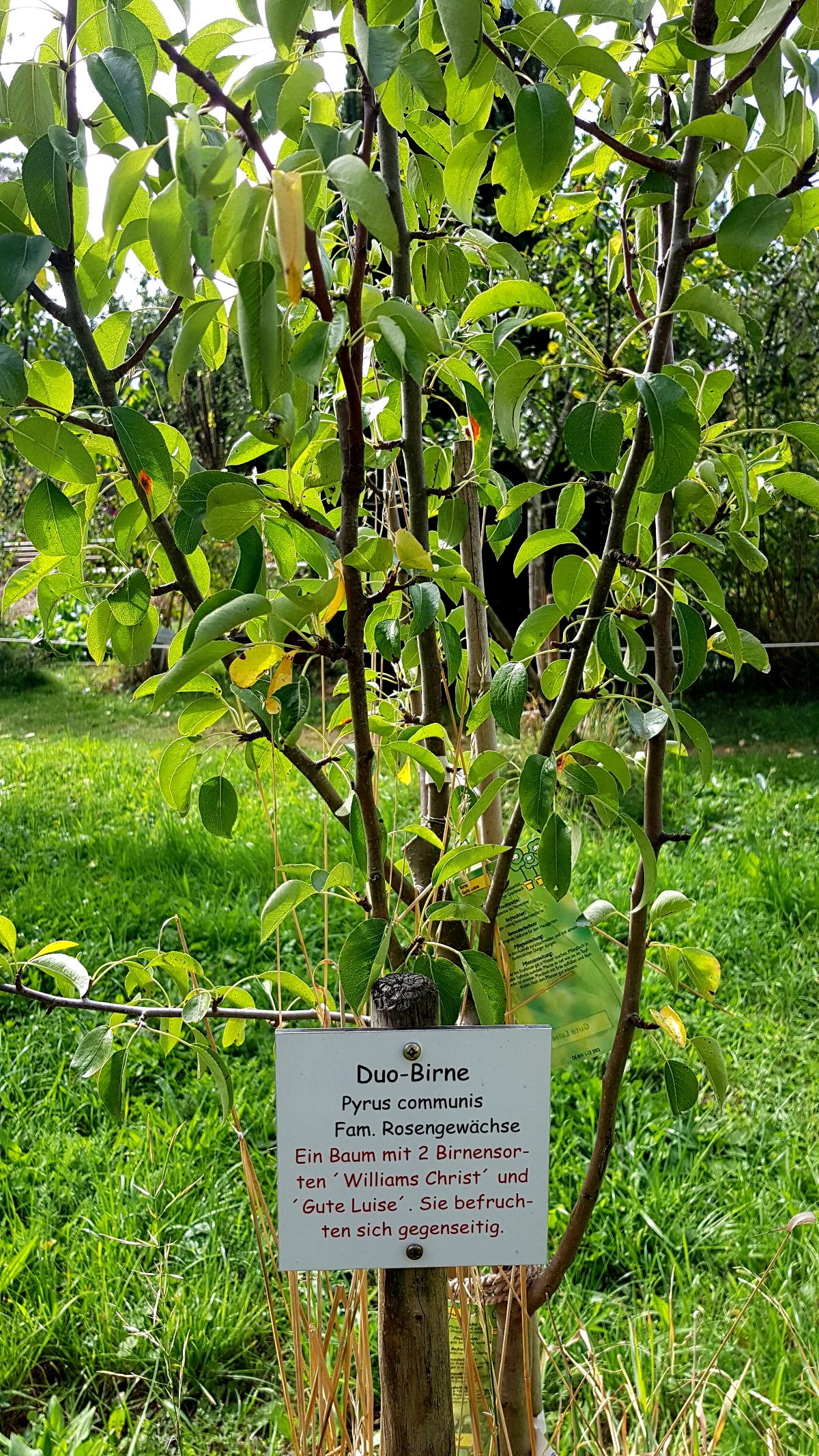 Birnbaum mit zwei Sorten, die sich gegenseitig befruchten