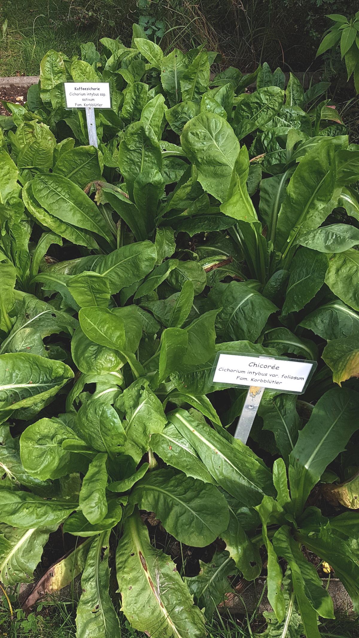 Cichorium intybus ssp. sativum - Kaffee-Zichorie