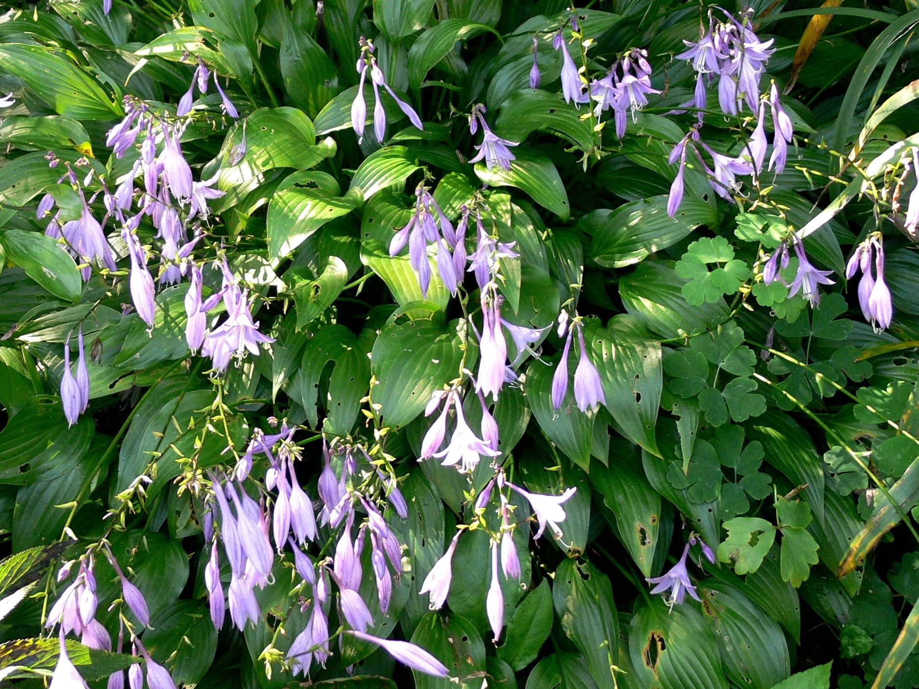 Hosta Lancifolia im Schau- und Sichtungsgarten Hermannshof