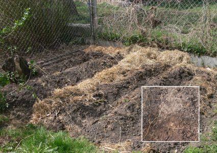 mein mulchgarten kartoffeln k rbis und brokoli gartenstauden und baumschulpflanzen. Black Bedroom Furniture Sets. Home Design Ideas