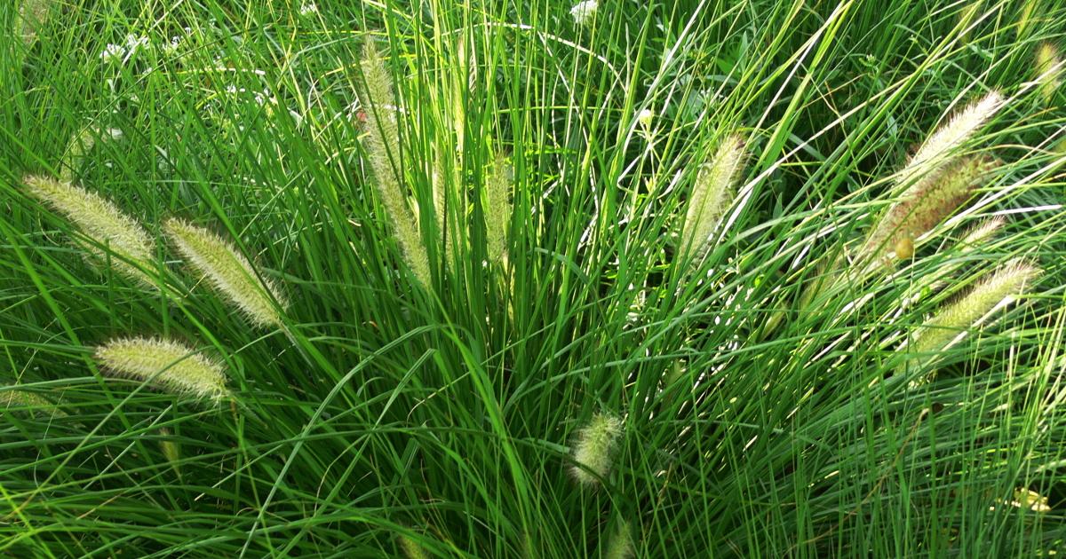 Gräser für den Garten
