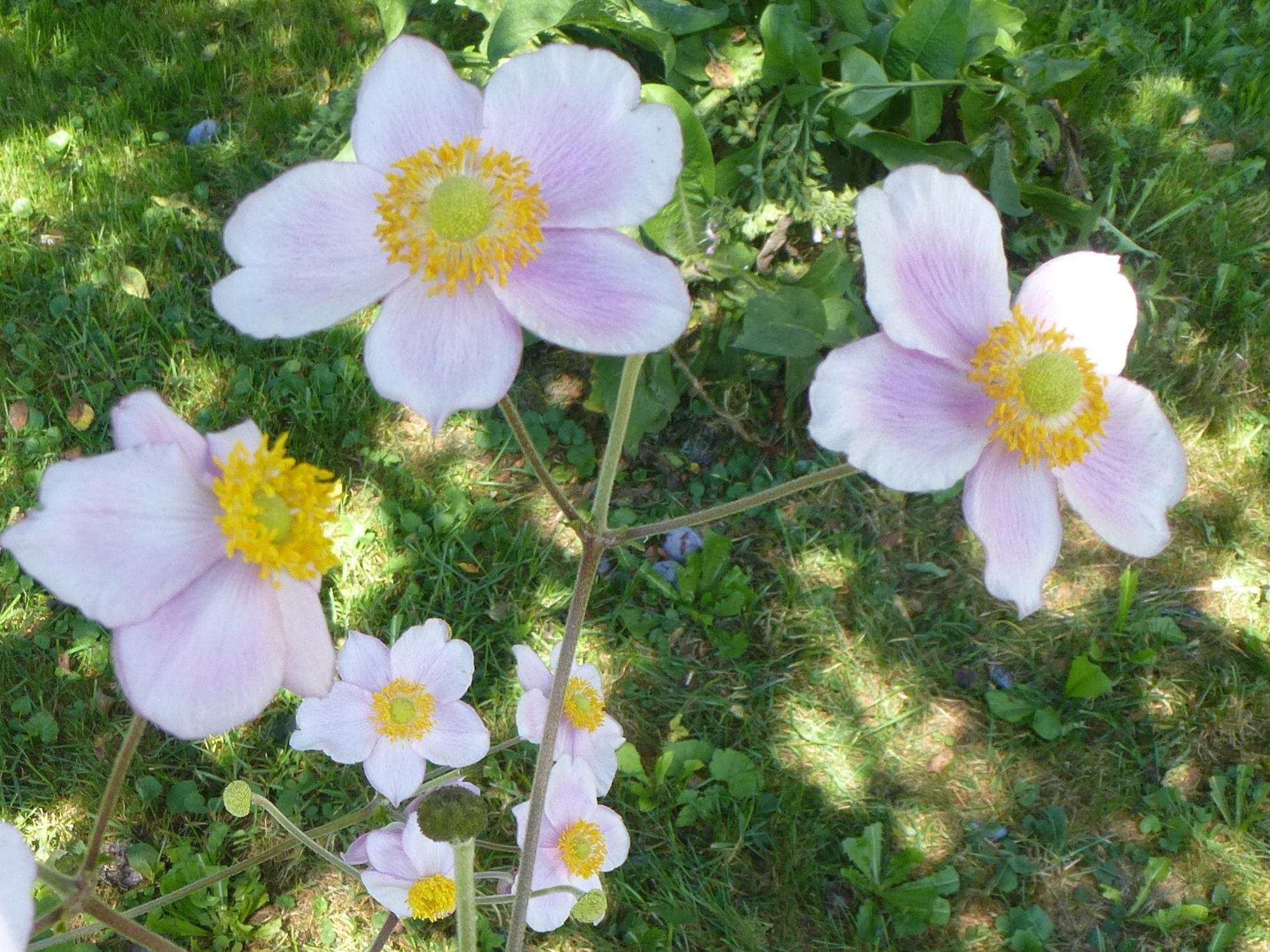 Alter Staudenschatz aus unserem Garten - Japan-Anemonde