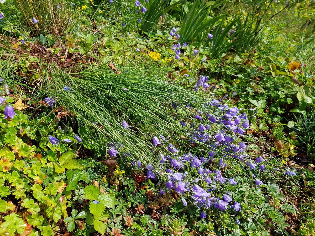 Glockenblume Campanula rotundifolia