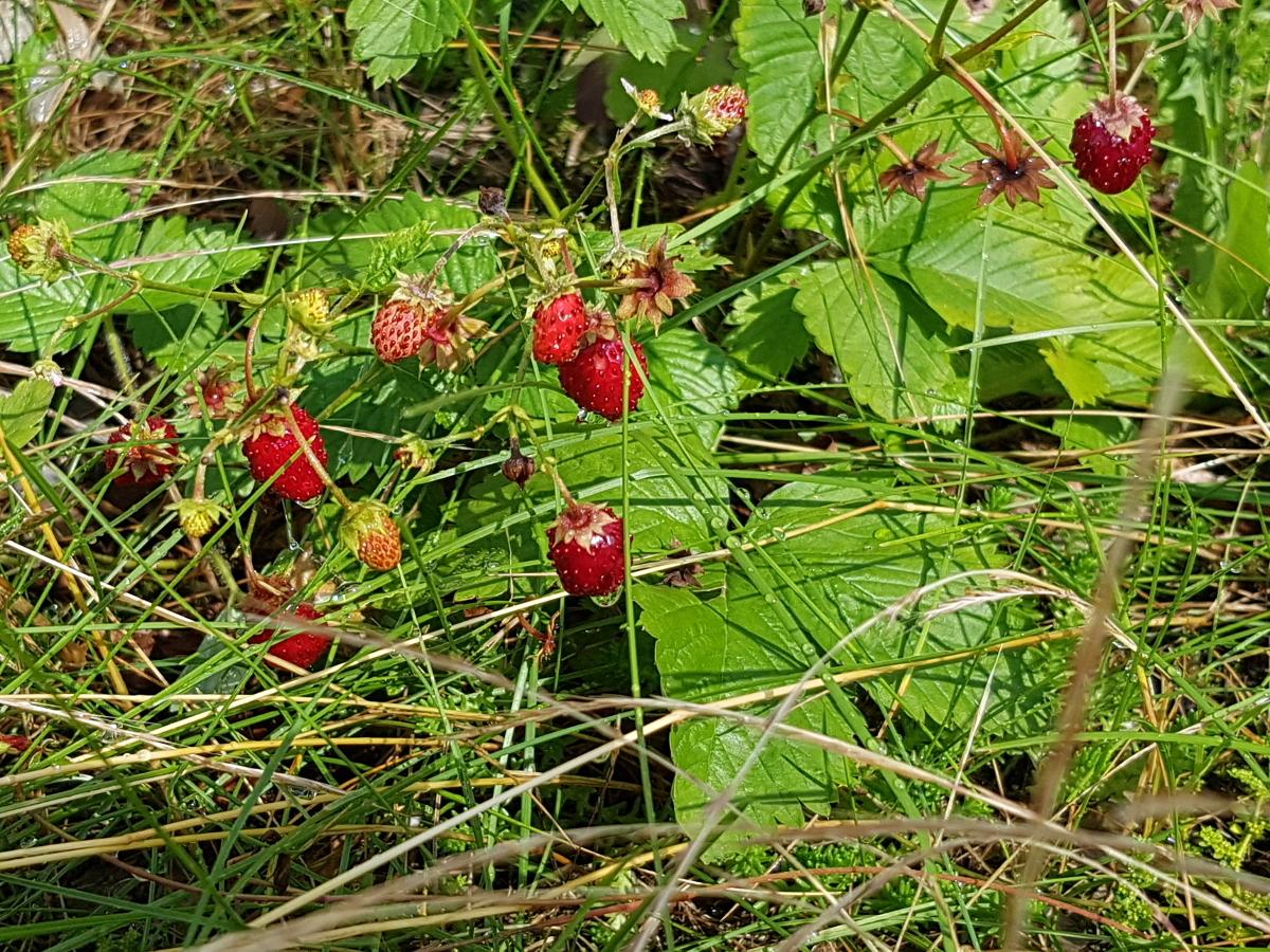 Die Walderdbeeren neigen sogar am Trockenhang zum Wuchern und erfreuen mit ihren Früchten