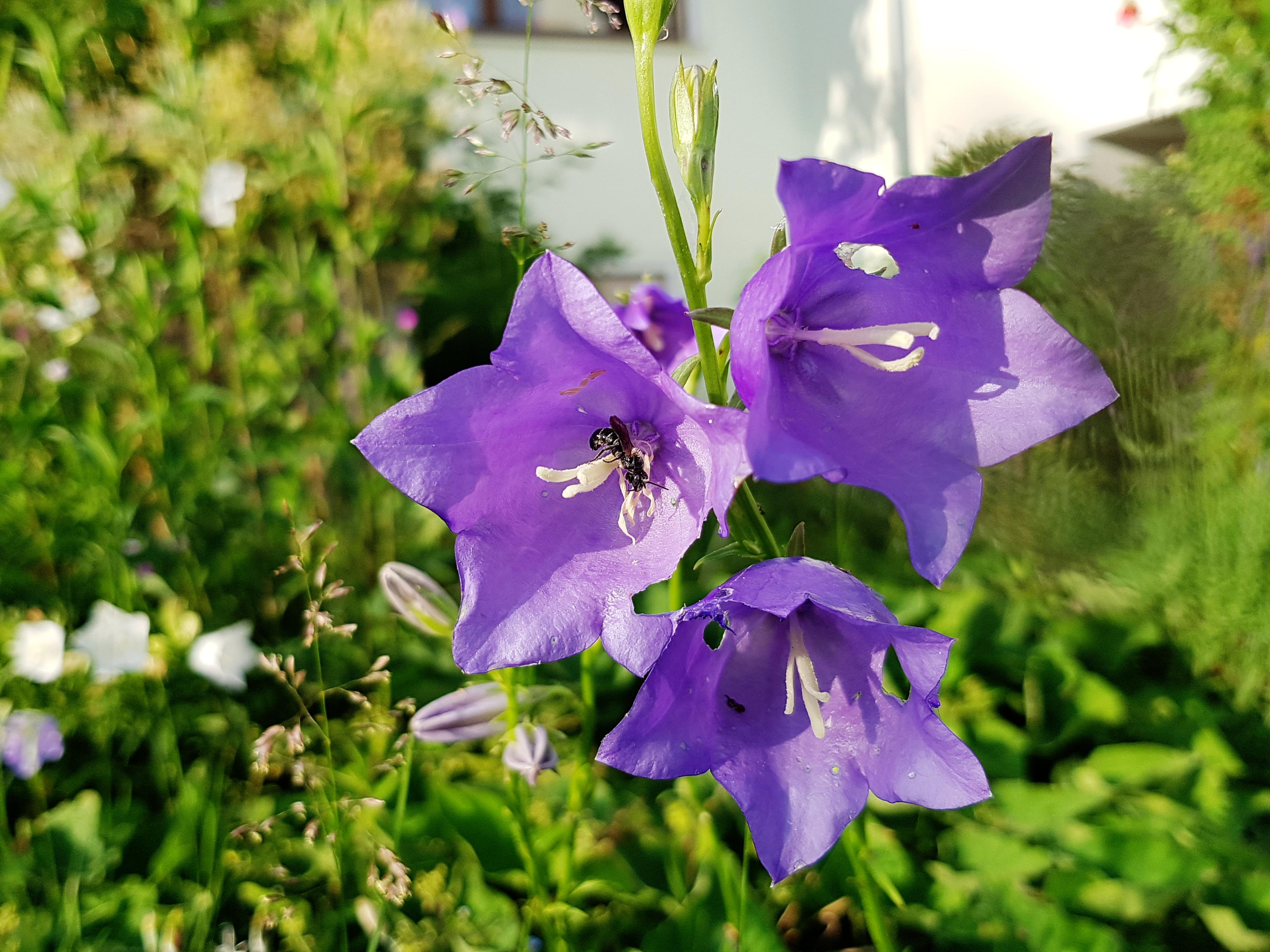 Pfirsichtblättrige Glockenblume