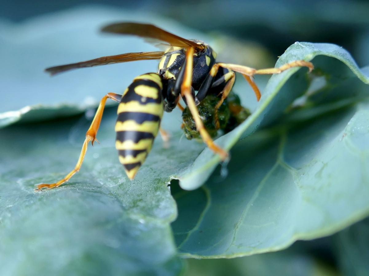 Wespe fängt Kohlweißlings-Raupe