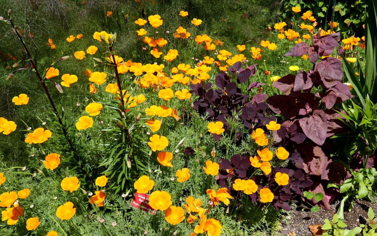 Goldmohn, und Perückenstrauch und vorne links entsteht eine Lilie