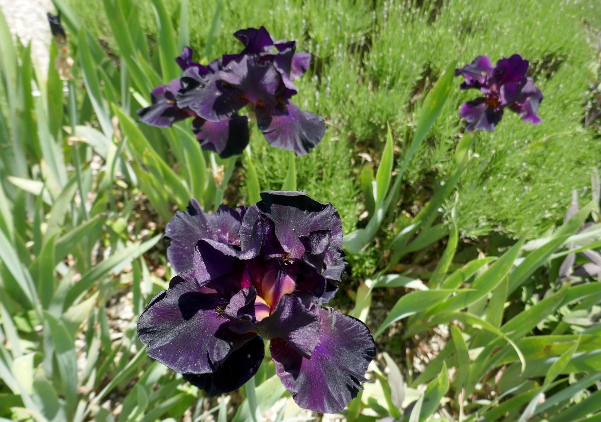 Samtschwarze Iris