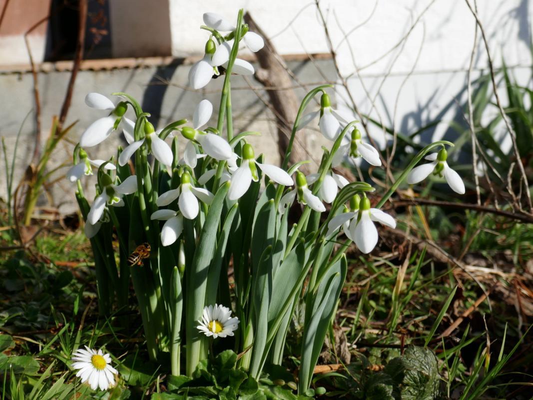 Schneeglöcken und Gänseblümchen - Wer entdeckt die Biene?
