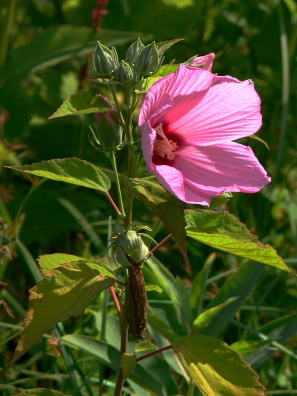 Hibiscus moscheotus (ohne Garantie!)