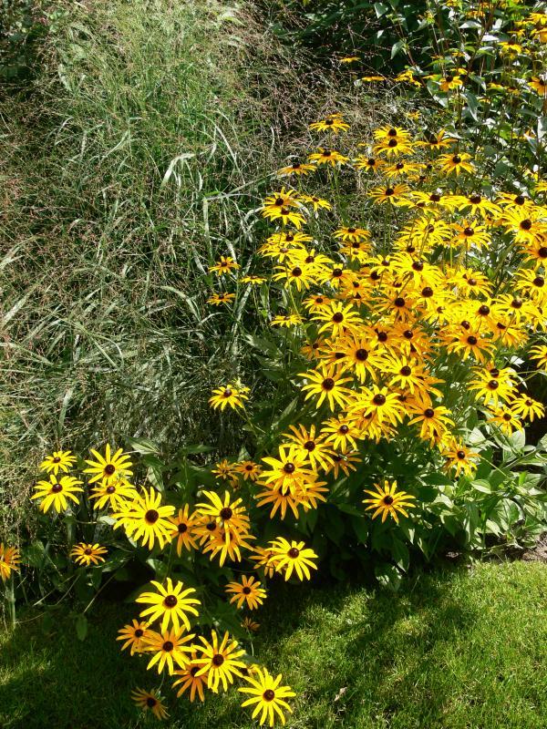 Panicum virgatum (Rutenhirse) und Sonnenhut