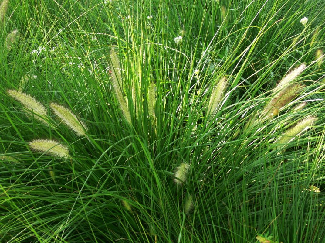 Pennisetum orientale - Orient-Lampenputzergras