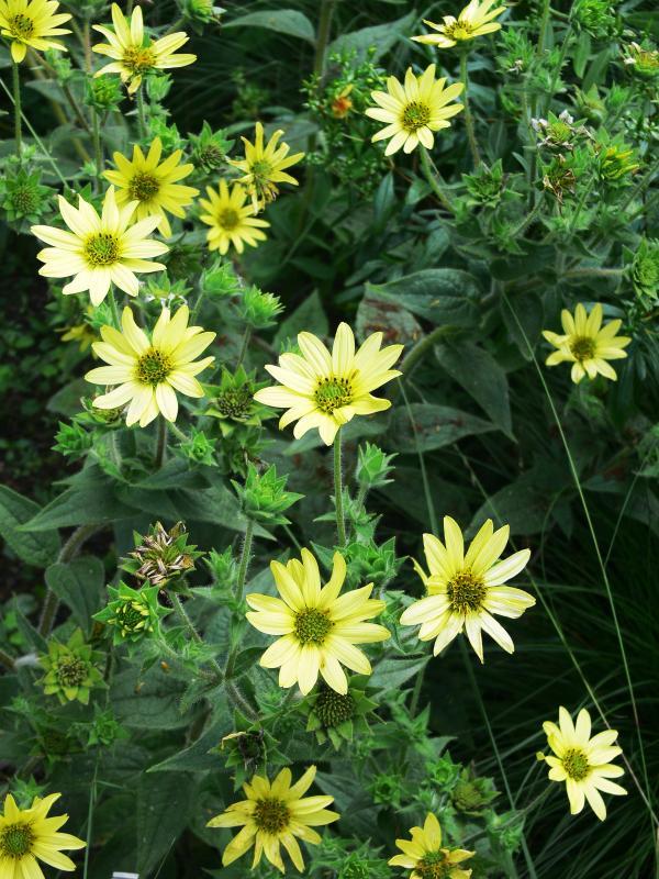 Silphium mohrii - Zottige Becherpflanze
